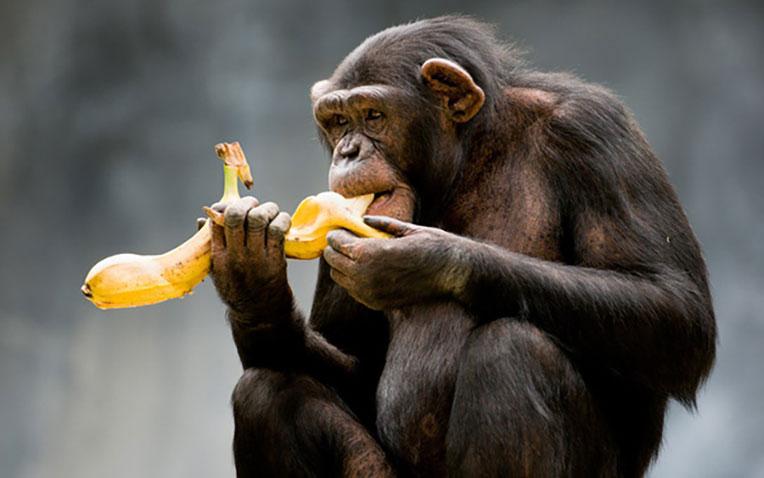 khỉ-ăn-chuối